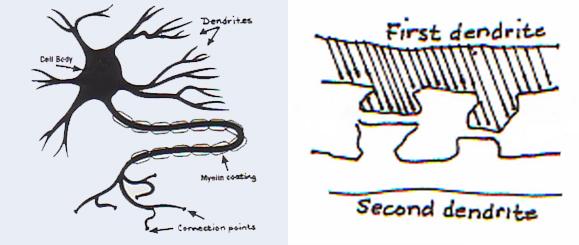 Dendrite. Vooruitgang in dressuur