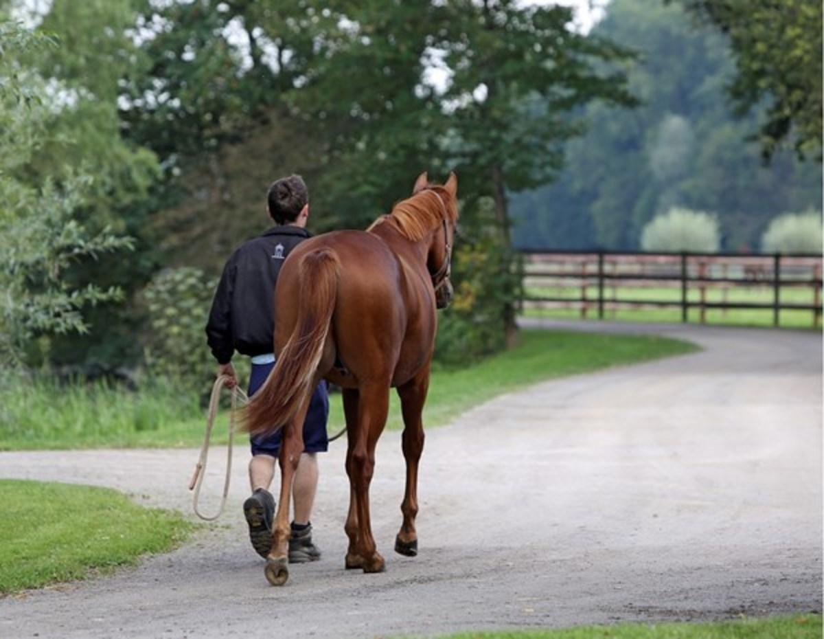 paard wandelen hand stappen
