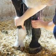 stalbeen stalbenen dikke benen medisch advies dierenarts fitheid paard