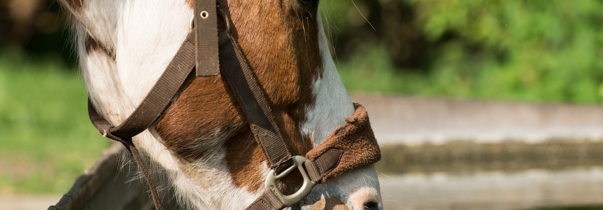 paard veel drinken veel plassen medisch tips advies