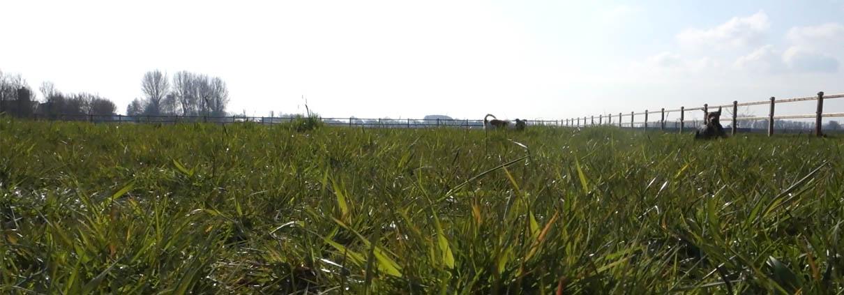 paard voorjaarsgras wennen suikers opbouwen